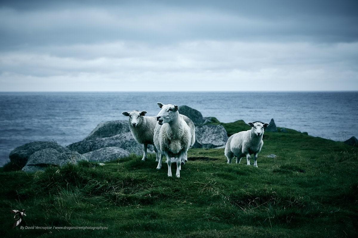 Mouton de la plage d'Eggum, face à la mer de Norvège